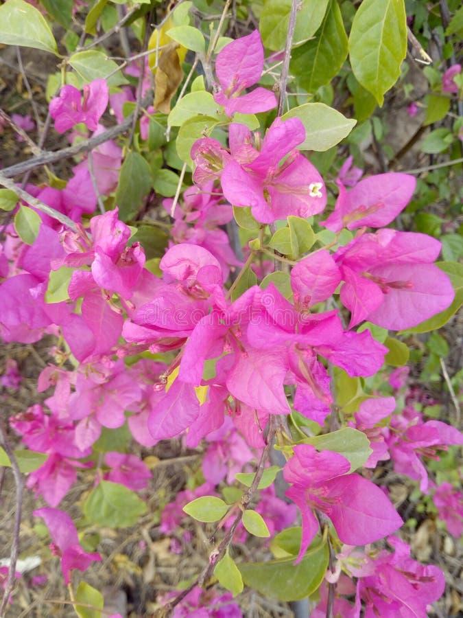 Różowy kwiatu piękno natura zdjęcie royalty free