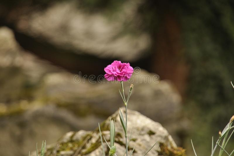 Różowy kwiatu th rockery fotografia royalty free