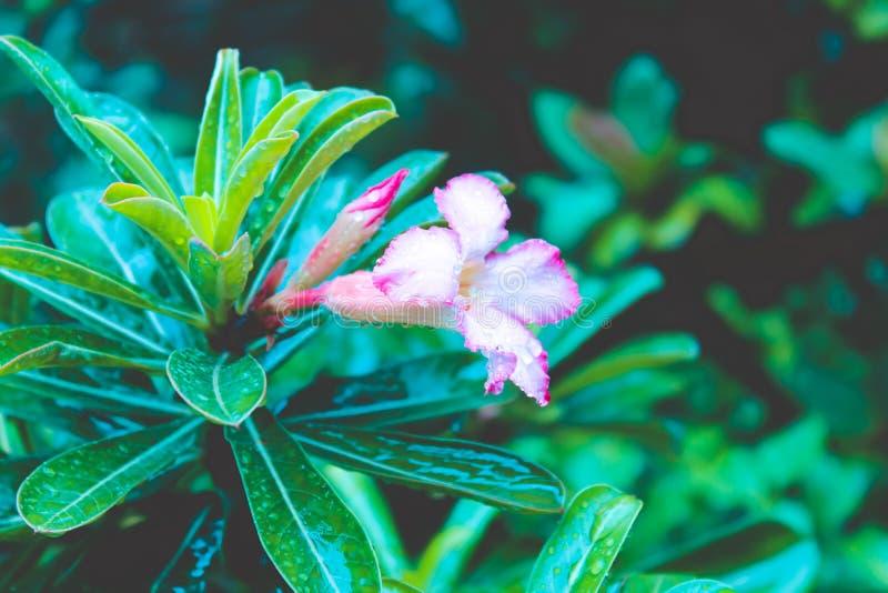 Różowy kwiatu zakończenie up odizolowywający zdjęcia royalty free