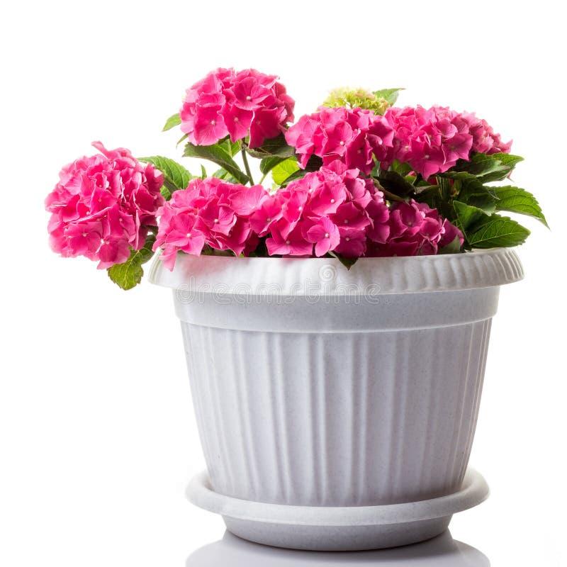 Różowy kwitnie hortensji macrophylla lub kudłacza hortensia w kwiatu garnku odizolowywającym na bielu zdjęcie stock