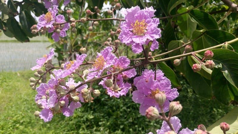 Różowy Lagerstroemia kwiat obrazy stock