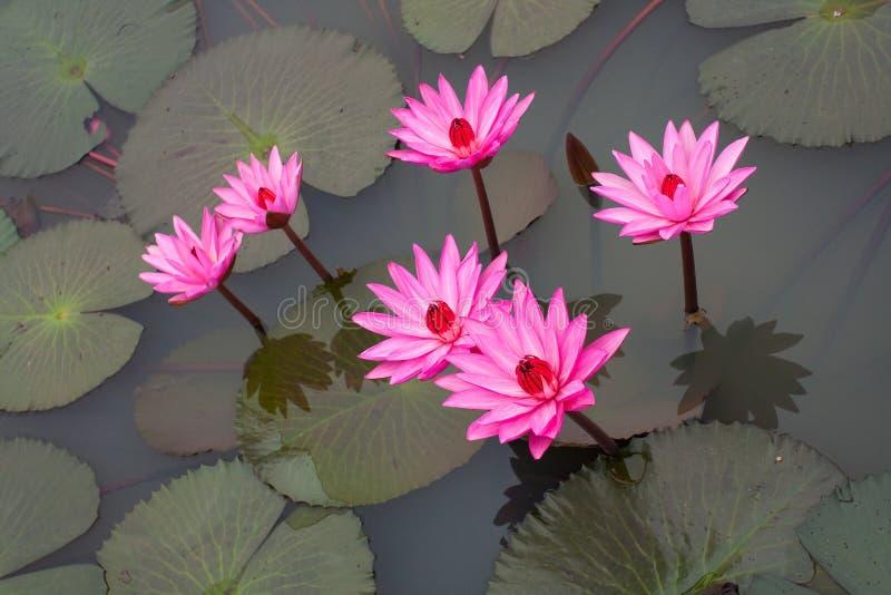 Różowy lotos obraz royalty free