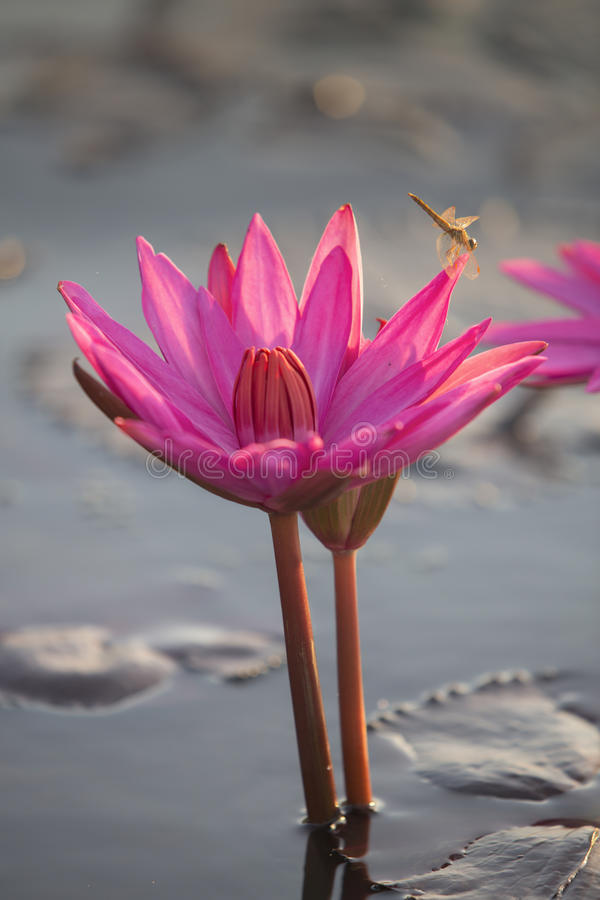 Różowy lotos i dragonfly zdjęcia stock