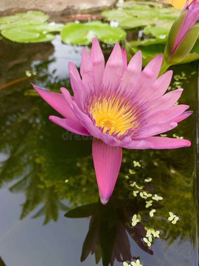 Różowy lotos kwitnie obraz royalty free