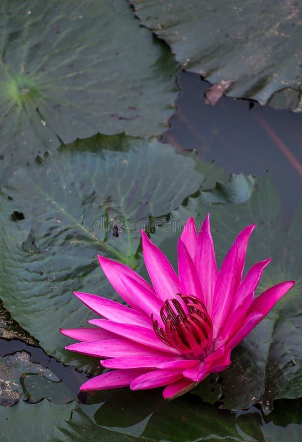 Różowy lotos kwitnie przy brzeg jeziora zdjęcia royalty free