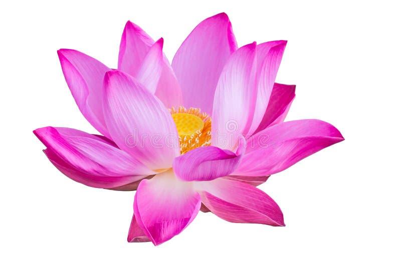 Różowy lotos na białym tle obrazy stock