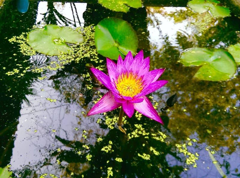 Różowy lotos w basenie i pięknym odruchu obraz stock