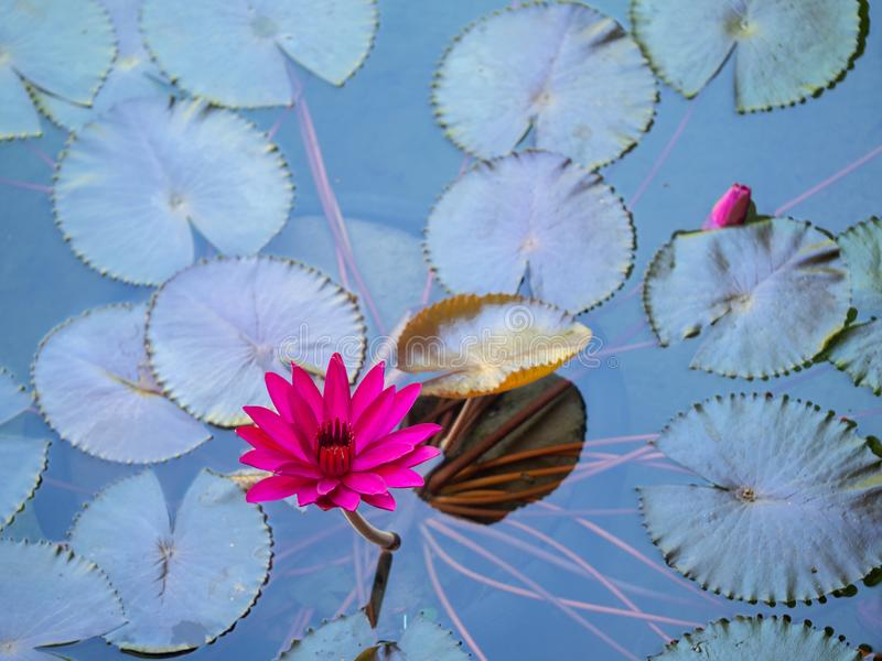Różowy lotos w basenie, Wodna leluja, Piękny kwiat w stawie jako naturalny tło zdjęcia royalty free