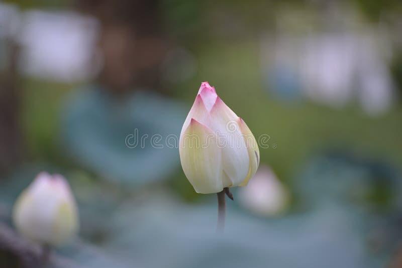 Różowy lotos w małym stawie fotografia royalty free