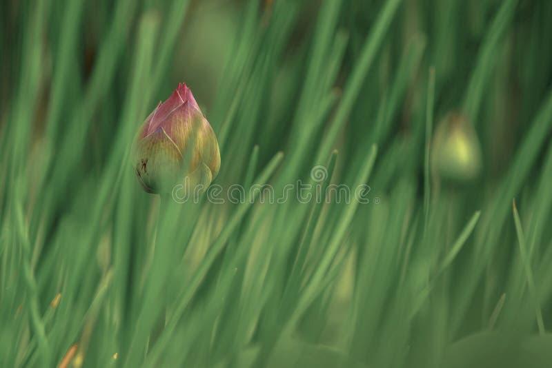 Różowy lotos w stawie zdjęcie stock