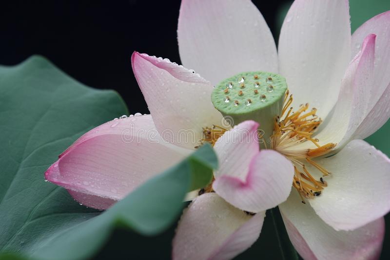 Różowy lotos z rosą na nim obraz royalty free