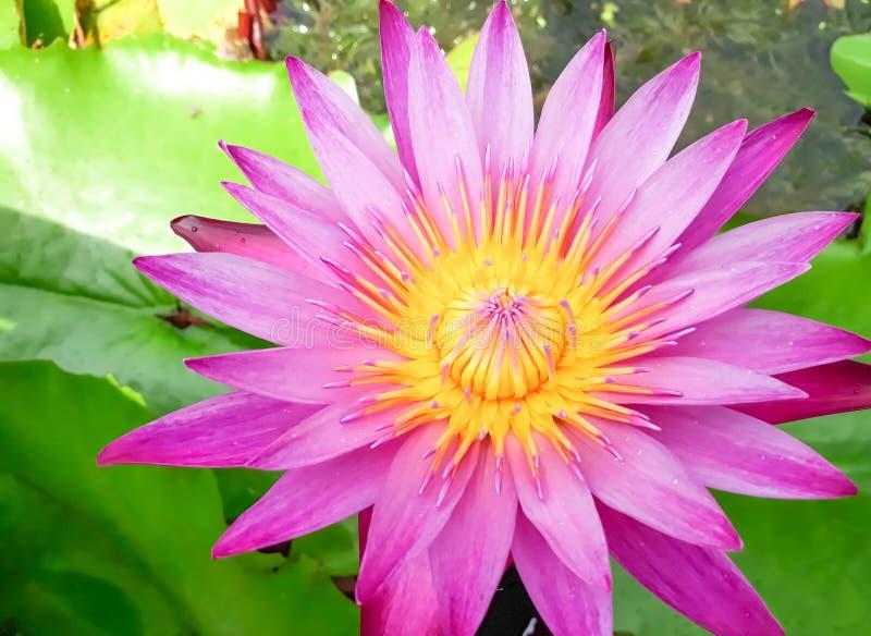 Różowy lotosowego kwiatu kwitnienie na wodzie z liściem fotografia royalty free