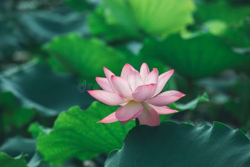 Różowy lotosowy kwiat zdjęcia royalty free