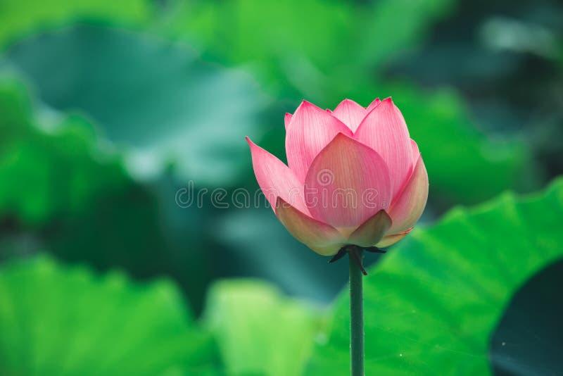 Różowy lotosowy kwiat zdjęcie stock