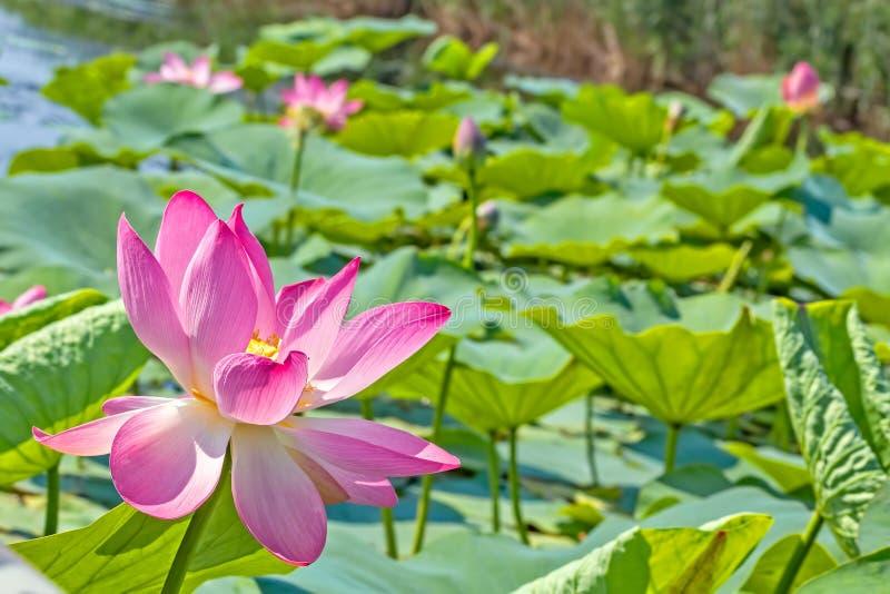 Różowy lotosowy kwiat na stawie w backlight zdjęcia stock