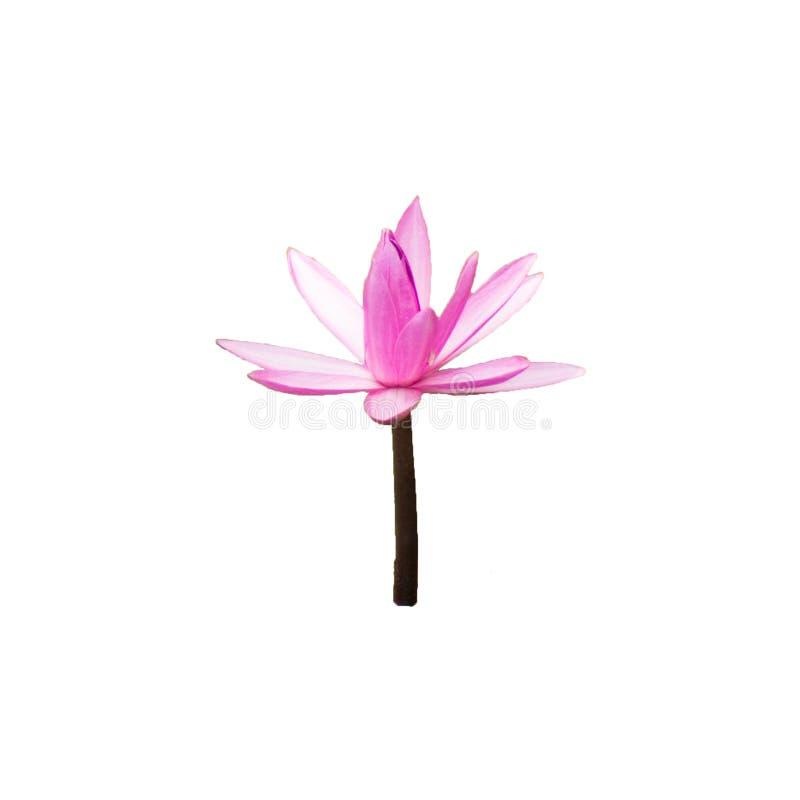 Różowy lotosowy kwiat odizolowywał białego tła piękną naturę Z ścinek ścieżką zdjęcie stock