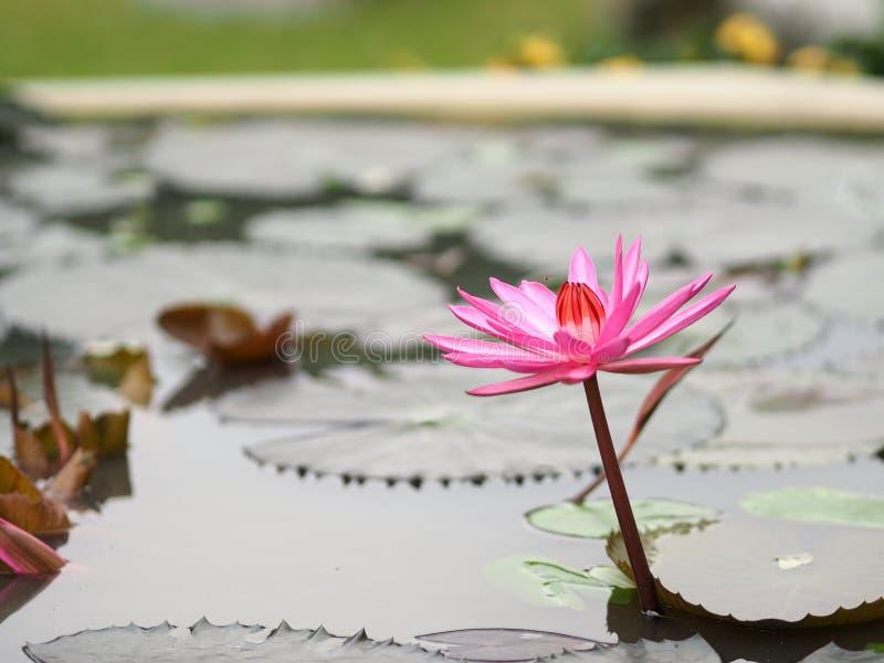 Różowy Lotosowy liść z ostrze karbami w Lotosowych basenowych Nymphaea lotosowych grzybień wodnej lelui zdjęcia royalty free