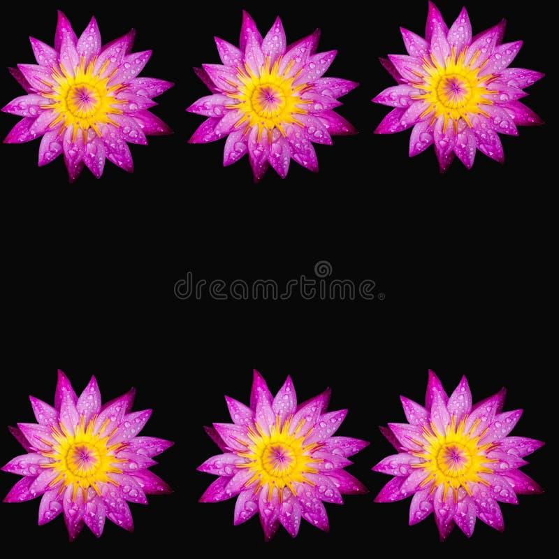 Różowy lotosowy odosobniony czarny tło kwiat zdjęcie royalty free