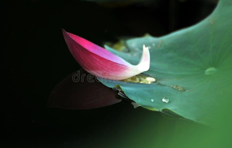 Różowy lotosowy płatek spadać na zielonym liściu fotografia stock