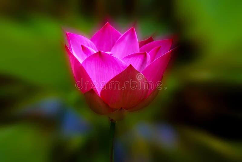 Różowy lotosu okwitnięcie zdjęcie royalty free
