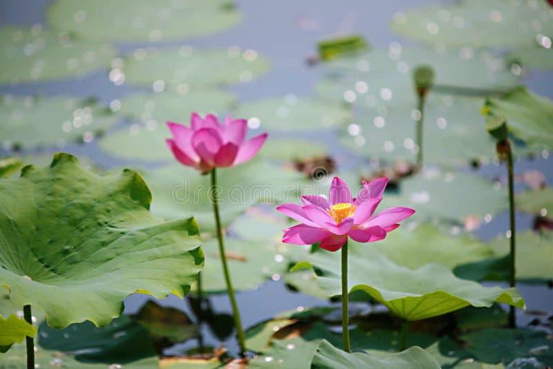 Różowy Lotus Kwitnie W Beilong jeziorze fotografia stock