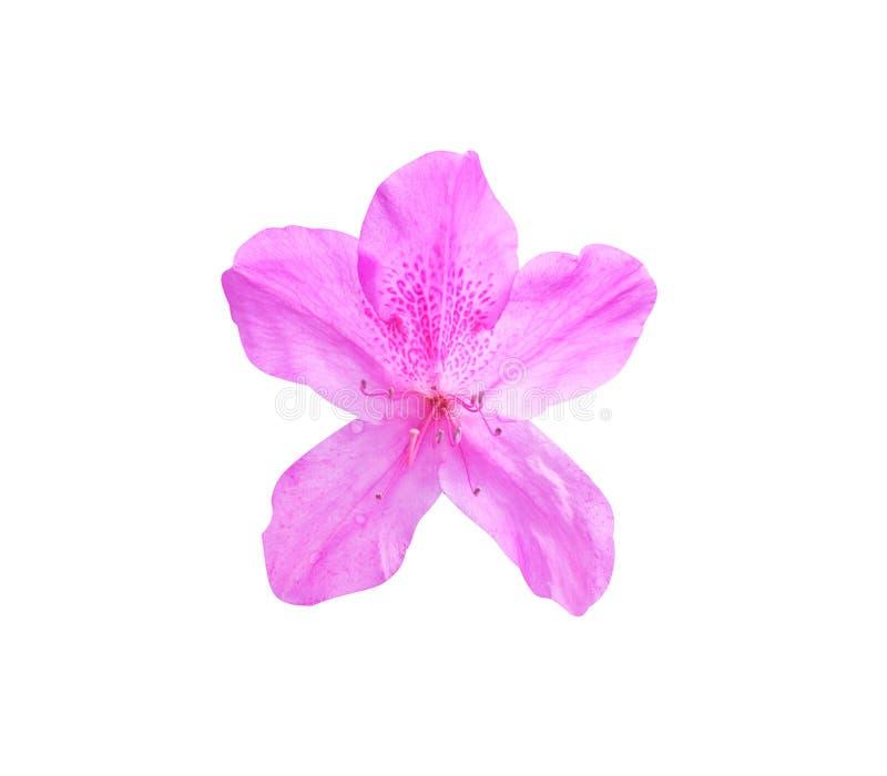 Różowy lub purpurowy różanecznik odizolowywający na białym tle z ścinek ścieżką fotografia stock