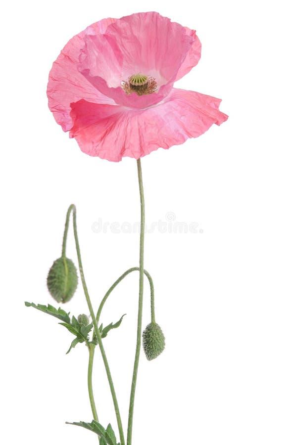 różowy maczek i pączki obraz royalty free
