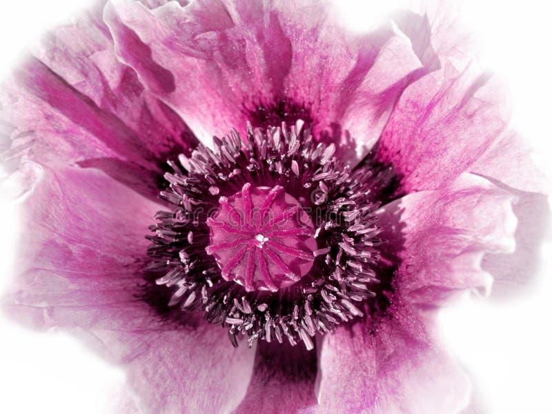 Różowy maczek na bielu fotografia stock