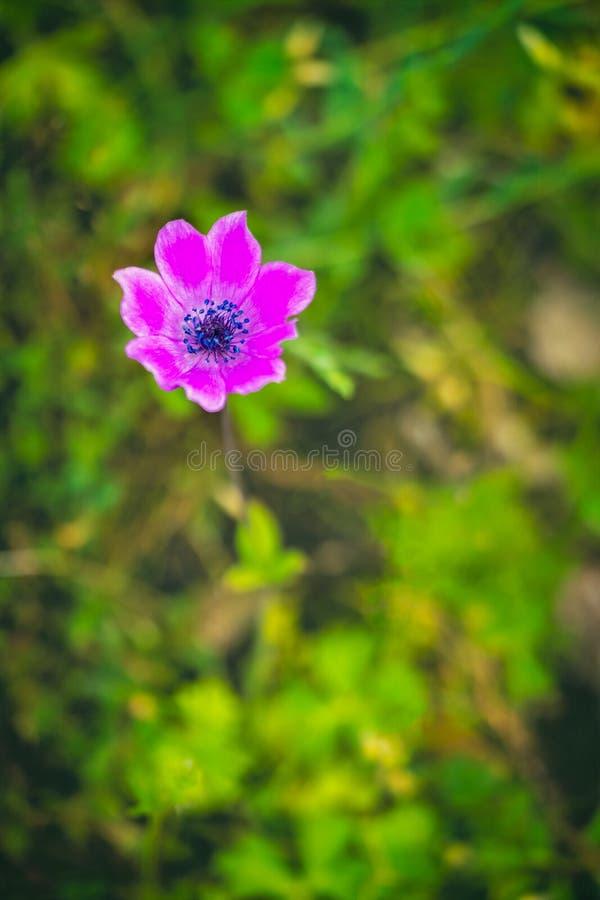 Różowy Makowy anemonu anemonu coronaria obrazy royalty free