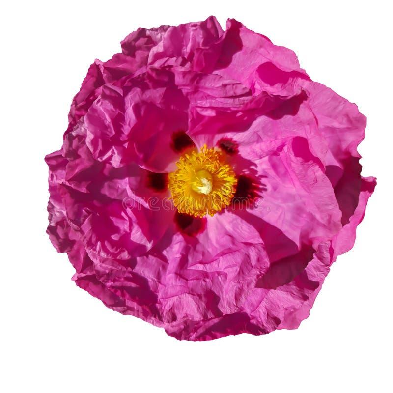 Różowy makowy kwiat ja na białym tle zdjęcie stock