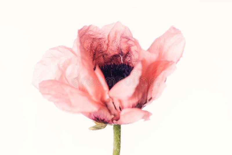 Różowy Makowy kwiat - Odizolowywający na bielu zdjęcie stock