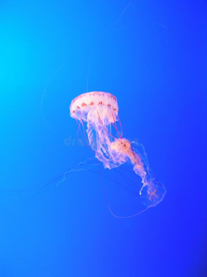 różowy meduz. zdjęcie royalty free