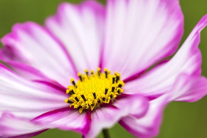 Różowy meksykański asteru kwiatu kwitnienie w ogródzie Makro- zdjęcie royalty free
