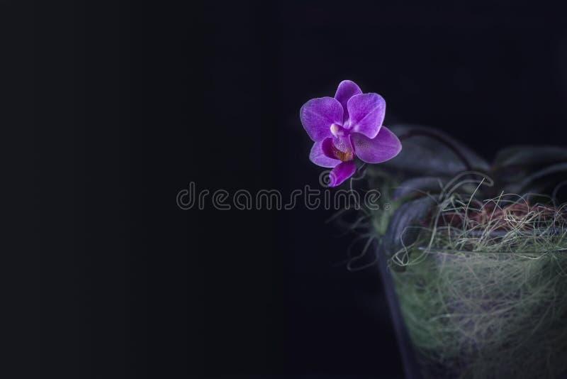 Różowy mini storczykowy Phalaenopsis w garnku z kwiatami i pączkami przeciw ciemnemu tłu obraz royalty free