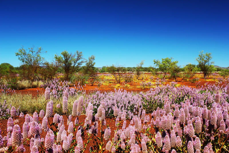 Różowy Mulla Mulla kwitnienie w Australijskim odludziu fotografia stock