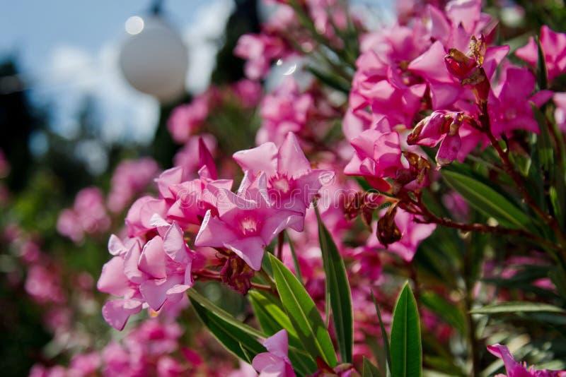 Różowy oleander kwitnie w jawnym parku w lecie obraz stock