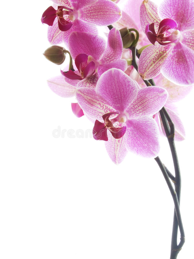 różowy orchidea zdjęcie royalty free
