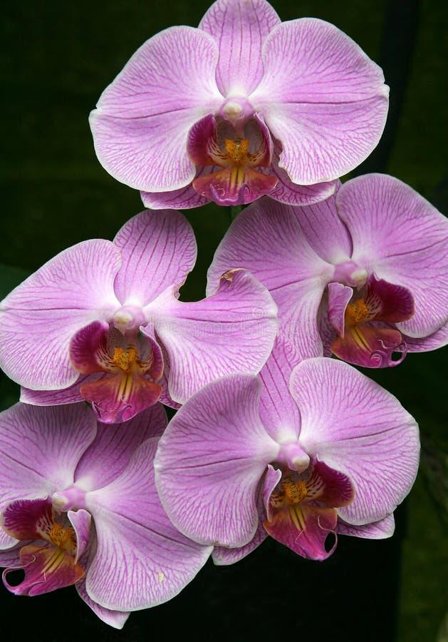 różowy orchidea obrazy royalty free