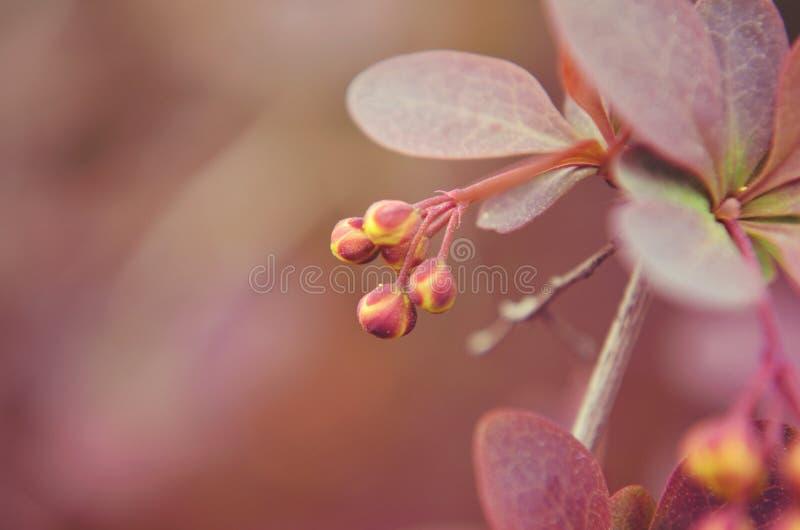 Różowy Pączek obraz royalty free