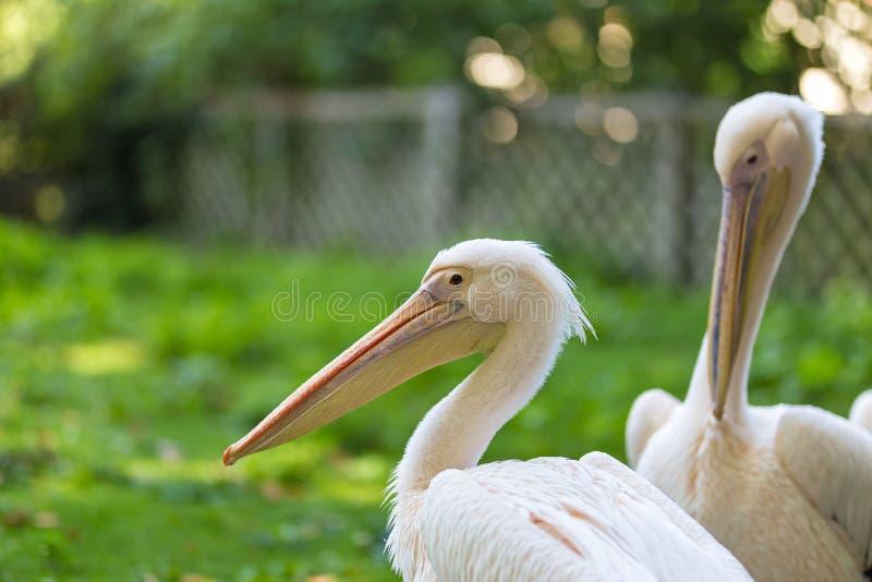Różowy pelikan w królewskim parku w Londyn zdjęcie stock