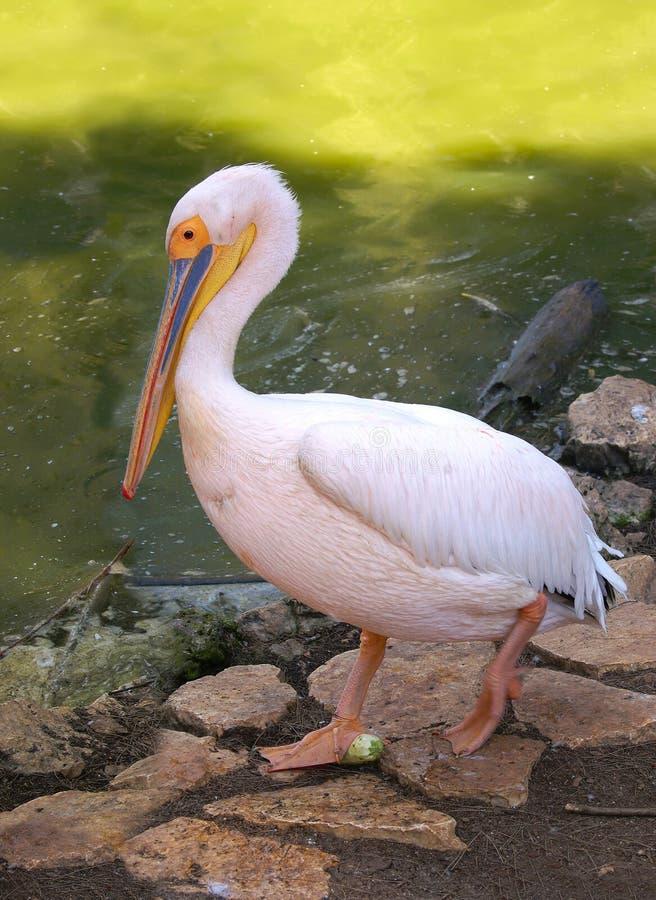 różowy pelikana zoo zdjęcie royalty free