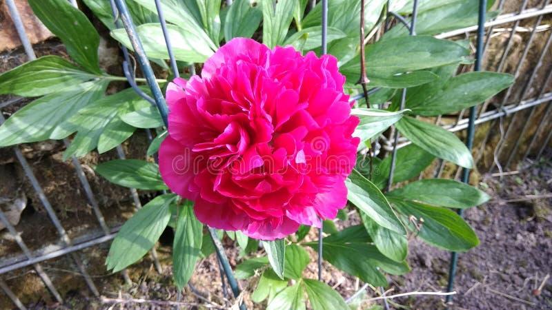 Różowy Pentacoast Wzrastał zdjęcie royalty free