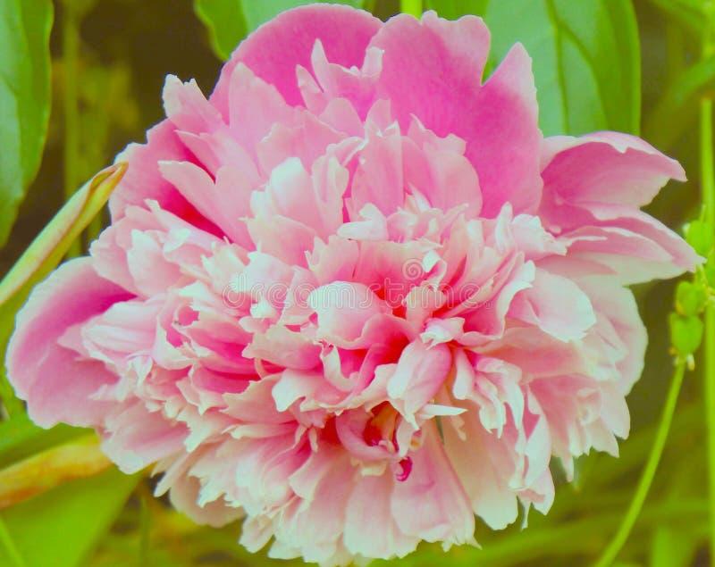 Różowy peoni zbliżenie w wiośnie obraz stock