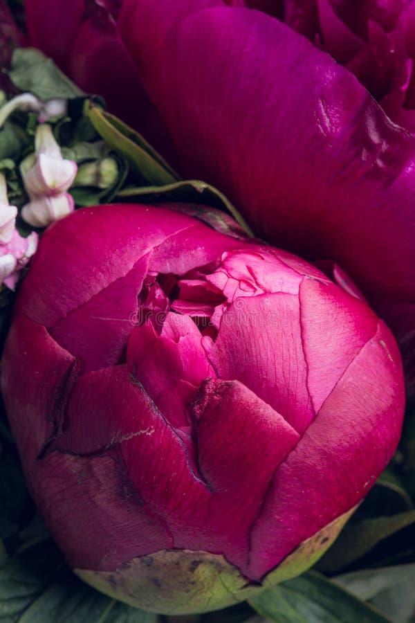 Różowy peonia kwiat makro- wciąż zdjęcia royalty free