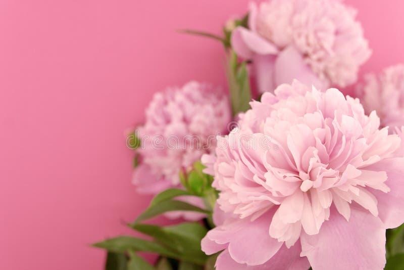 Różowy peonia kwiat na różowym tle z kopii przestrzenią dla greetin zdjęcie stock