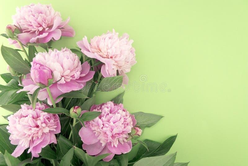 Różowy peonia kwiat na zielonym tle z kopii przestrzenią dla greeti zdjęcie stock