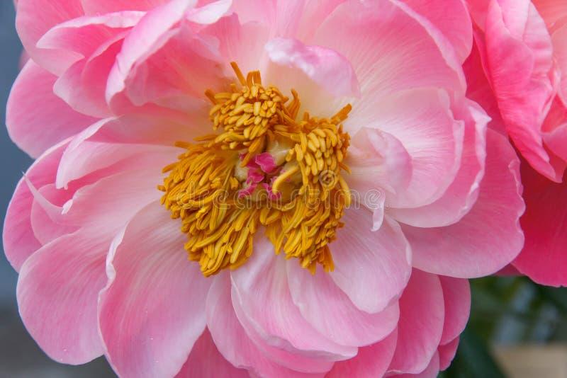 Różowy peonia kwiat z stamen Makro- fotografia zdjęcie stock