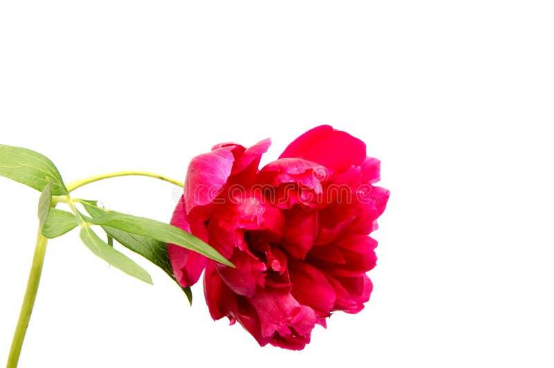 Różowy peonia kwiatu Paeonia lactiflora na bielu zdjęcia royalty free