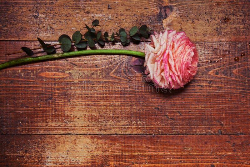 Różowy perski jaskier kwitnie ranunculus na drewnianym tle obraz stock