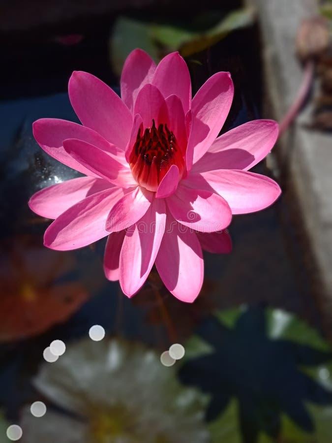 Różowy piękno obraz stock